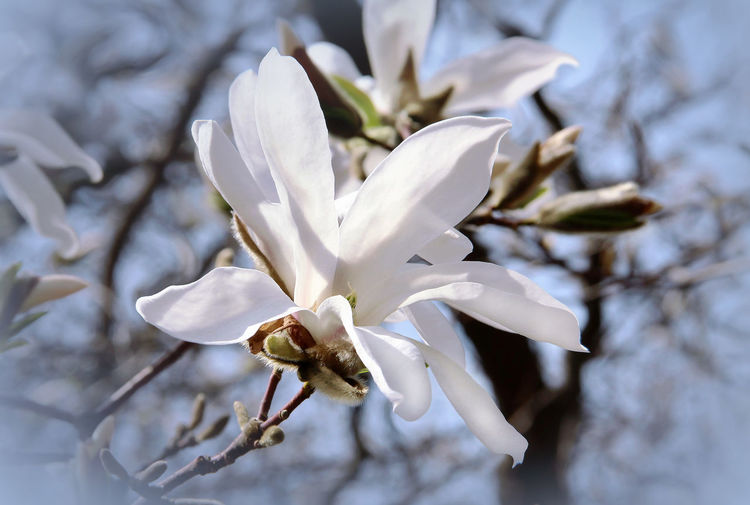 Magnolia Magnolia Flower Magnolia_Blossom Plant Flowering Plant Beauty In Nature Fragility Flower Vulnerability  Petal White Color Freshness Close-up Growth Inflorescence Nature No People Flower Head Focus On Foreground Day Pollen Tree Springtime Outdoors