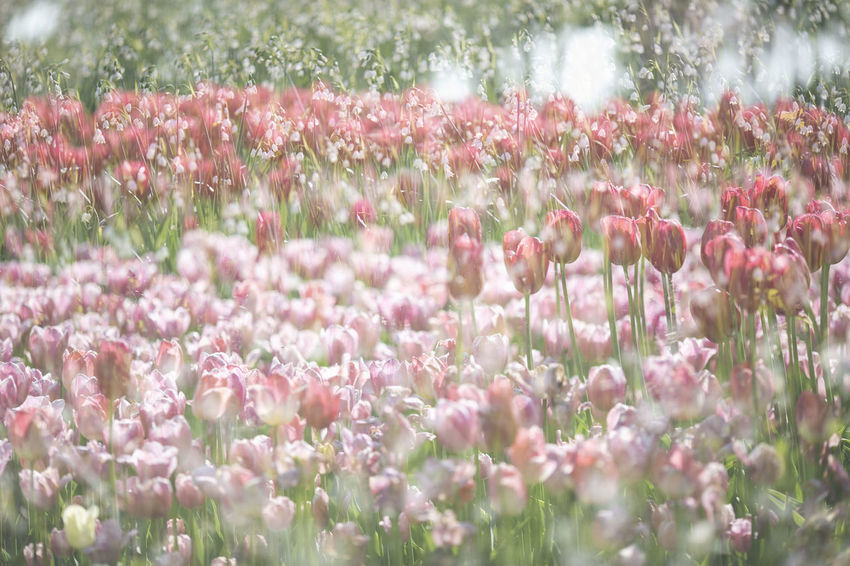 꽃속의 꽃 Korea Tulip Flower Flower Festival 2018 Taean, Korea Flower Head Flower Tree Rural Scene Flowerbed Springtime Pink Color Summer Field Scented Wildflower In Bloom Blossom Dandelion Single Flower Stem Stamen