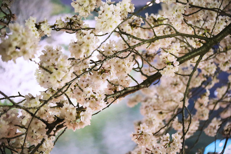2018 Japan Tokyo Beauty In Nature Blossom Cherry Blossom Cherry Tree Flower Flower Head Flowering Plant Fragility Freshness Growth Low Angle View Nature Outdoors Plant Spring Springtime Tree サクラ 千鳥ヶ淵 桜