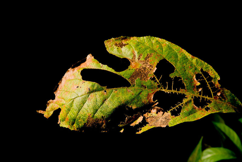 Dry Leaves Nature Beauty In Nature Black Background Leaf Leaf Vein Light And Shadow Nature Nature_collection Process Withered  Withered Beauty