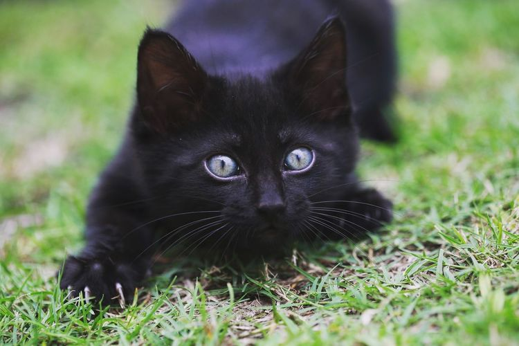 Portrait Of Black Cat On Grass