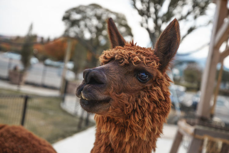 Alpaca Animal Themes Mammal Animal One Animal Livestock Domestic Animals Focus On Foreground Animal Head  Llama Brown Animal Body Part Close-up Pets Domestic Agriculture Vertebrate No People Day Portrait Herbivorous
