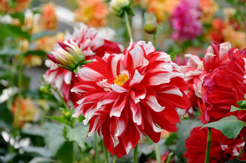 Dahlia colors