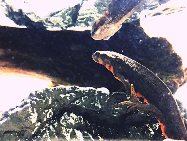 アカハライモリ Japanese Fire Belly Newt Newt 両生類 Amphibians