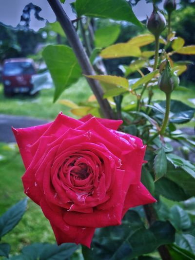 Rose Flower Head Flower Leaf Red Rose - Flower Petal Water Close-up Plant Blooming Plant Life Botany Rosé Blossom Cherry Blossom Focus A New Perspective On Life EyeEmNewHere