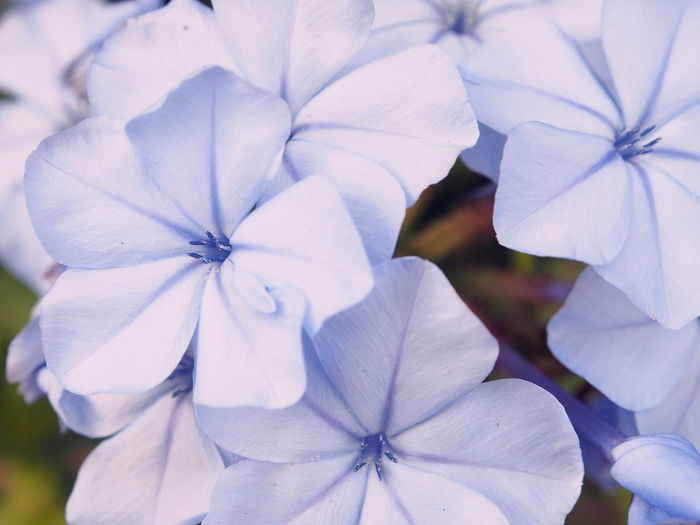 Close-up Flower Flowering Plant Petal Fragility Freshness Vulnerability  Growth Beauty In Nature Plant Inflorescence Flower Head White Color No People Focus On Foreground Day Petunia Outdoors Nature Purple