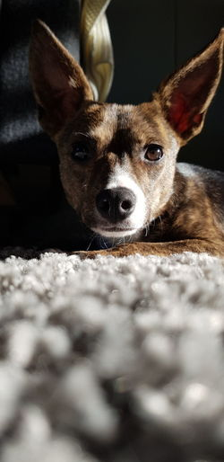 Close-up portrait of a dog at home