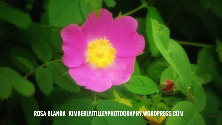 A wild rose bush. KimberlyJTilley Nature Flower Pink Color Outdoors