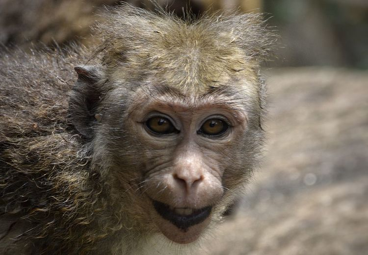 A smiling Toque Macaque Animal Body Part Animal Eye Animal Hair Animal Head  Animal Themes Close-up Day Focus On Foreground Gorilla Macaque Mammal Nature No People Outdoors Part Of Portrait Selective Focus Smile Whisker Wildlife Wildlife Photography