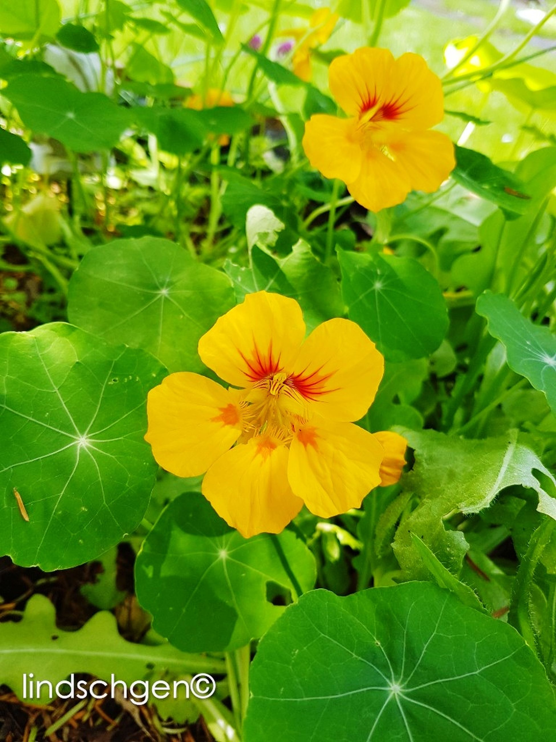 flower, fragility, flower head, petal, plant, beauty in nature, nature, freshness, leaf, growth, yellow, green color, close-up, no people, outdoors, day, blooming, hibiscus