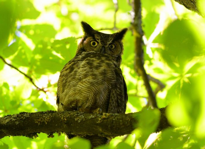 Animal Wildlife Animals In The Wild Branch Cat Day Domestic Looking Looking At Camera Mammal Nature No People Owl Photography Portrait Selective Focus Tree