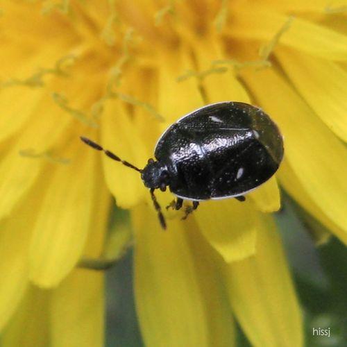_Adomerus triguttulus_ Shield Bug Insects  Nature