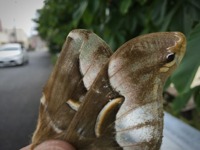 繋がる。 Message Beauty In Nature Moth シンジュサン 蛾 まだ夏になる前、拾った翅。