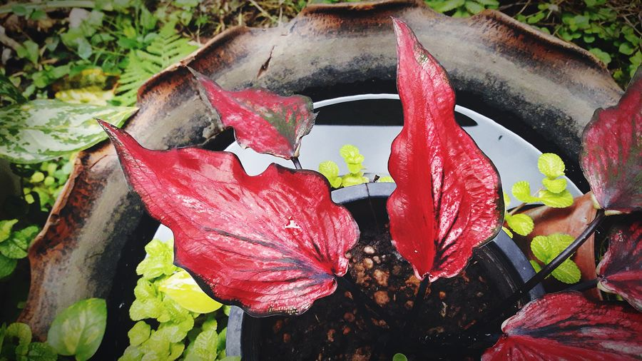 Red leaves in