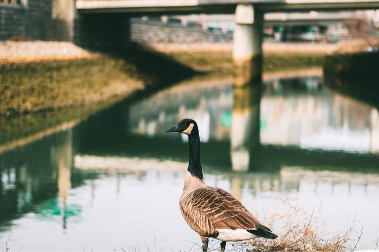 What type of bird is that? Bird Animals In The Wild Animal Themes Water One Animal Goose Day Nature Lake Outdoors Animal Wildlife No People Swimming Focus On Foreground Followingboston The Architect - 2017 EyeEm Awards Close-up Sky
