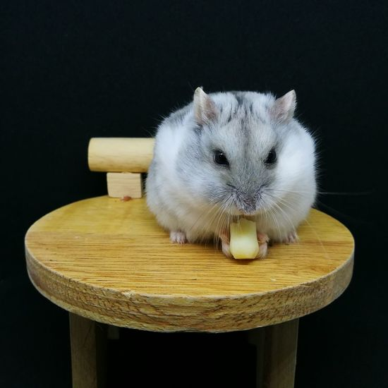 Rodent eating food on table against black background