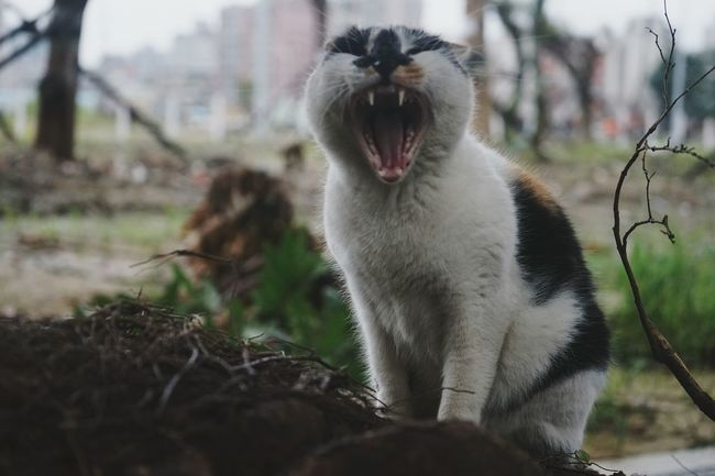 Yawning Animal Behavior Domestic Cat Animal Themes One Animal Mouth Open Mammal Alley Cat Animals In The Wild 街貓 Focus Object Angry Angrycat Trick Or Treat Adapted To The City Pet Portraits
