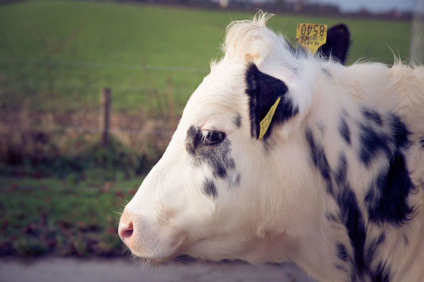 Close-up of cow in the field Farm Farm Life Animal Themes Close-up Cow Day Domestic Animals Focus On Foreground Going Outside Livestock Mammal Nature No People One Animal Outdoors Pets Spring Young Cow