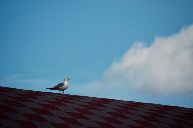 Low angle view of seagull perching on roof against sky