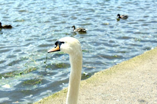 Swan White Swan Water Estuary Enjoying Life Canon1200d Modeling Majestic Nature Majestic