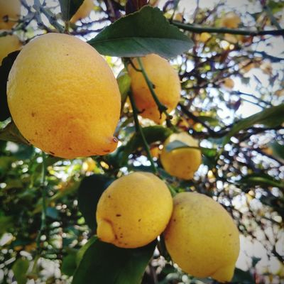 Fruit Tree Citrus Fruit Food And Drink Growth Lemon Tree Food No People Hanging Healthy Eating Freshness Yellow Branch Leaf Low Angle View Outdoors Day Agriculture Close-up Nature Lemon Lemon Trees Colors Paint The Town Yellow