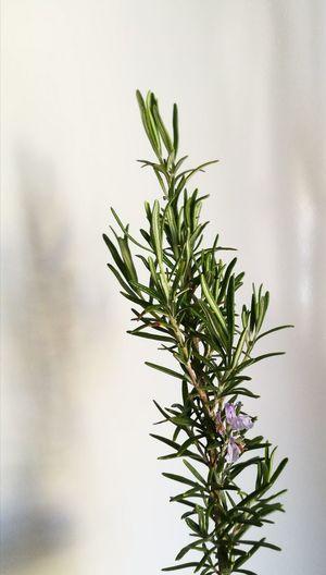 Herb Leaf Indoors  Nature Food