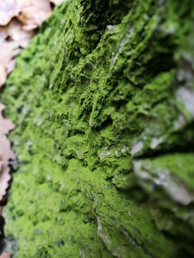 Green Color Moss Nature Growth Tree Trunk No People Close-up Textured  Fungus Day Beauty In Nature Outdoors Tree Lichen Freshness Moss & Lichen Mossy Mossy Tree Moss Close Up Moss On Trees Mossy Forest Moss In Macro Moss And Lichen Mossy Wood Moss Covered Tree