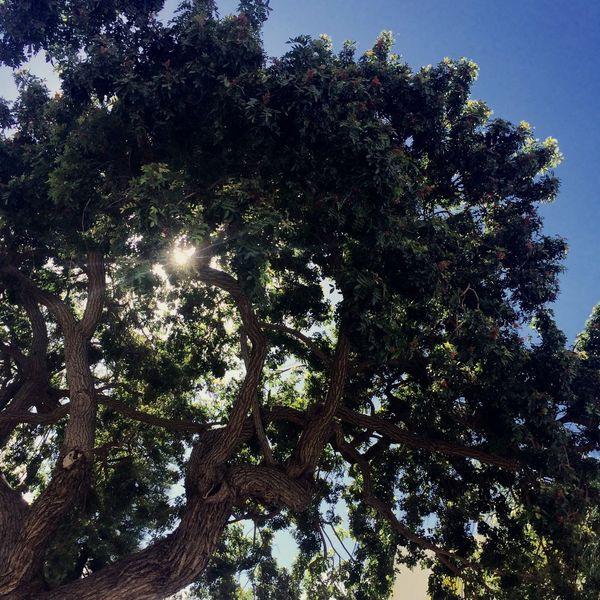 Tree Trees Nature San Diego California Outdoors Sunshine Sun Shining Beautiful Beautiful Nature