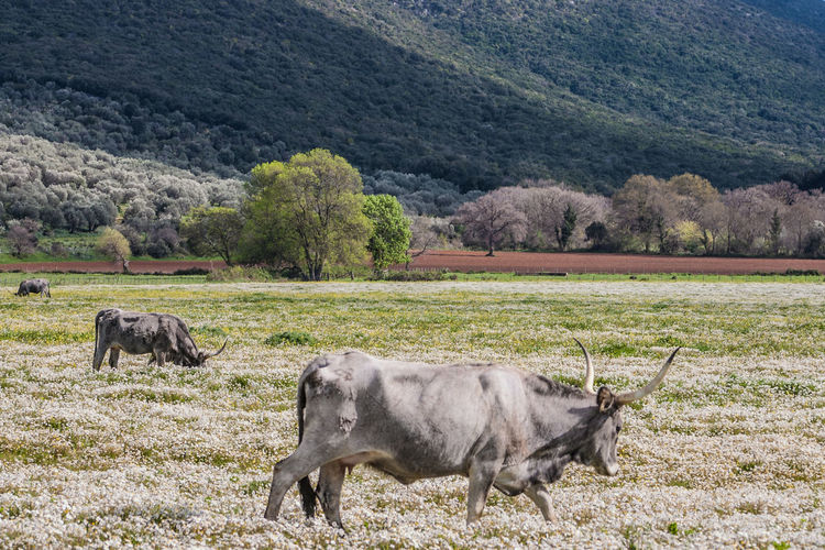 Maremma field with white flowers and buffalo cows Animal Themes Animals In The Wild Day Domestic Animals Livestock Mammal Mountain Nature No People Outdoors Rural Scene Tree Water Buffalo Bull - Animal Taurus Pasture Buffalo Horned