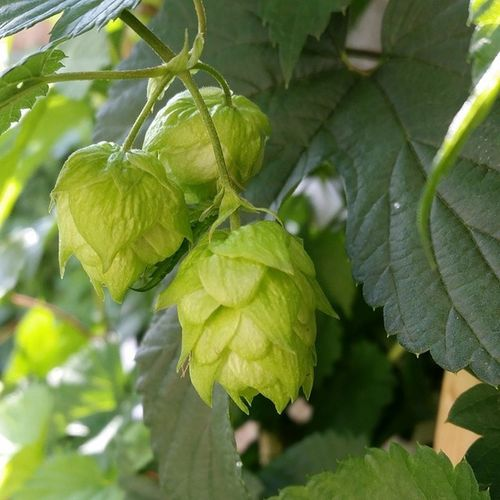 Hops Hopflower Greenthumb Nofilter growyourown centennial homebrew craftbeer beer