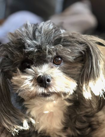 What are you looking at? MaltesePom Lola Pets Dog Mammal One Animal Domestic Animals Animal Themes Animal Hair
