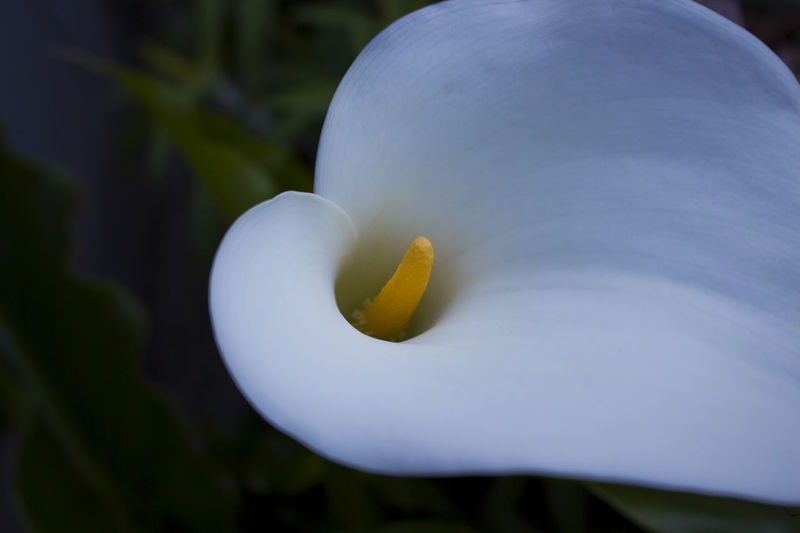 Beautiful Calla Lily Beauty In Nature Calla Lily Callalily Close-up Day Flower Flower Collection Flower Head Flower Photography Flower Porn Flowerlovers Flowerporn Flowerpower Flowers Flowers, Nature And Beauty Flowers,Plants & Garden Flowers_collection Fragility Freshness Nature No People Outdoors
