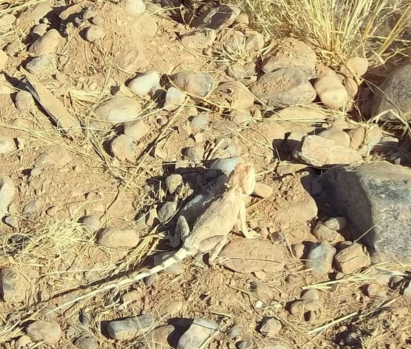 just me Animal Themes Animals In The Wild Insect Eater Namibia Desert No People One Animal Reptile