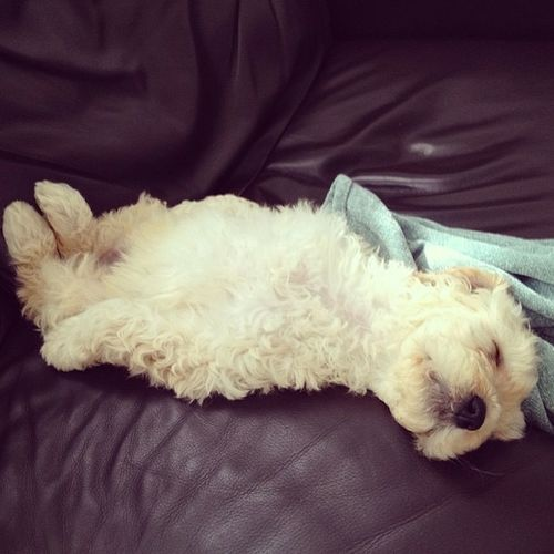 Cute Dogs Goldendoodles Luxury Peace Puppies Relaxation Sleep