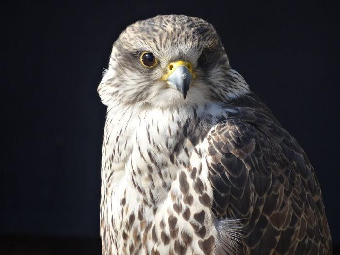Close-up portrait of eagle against black background