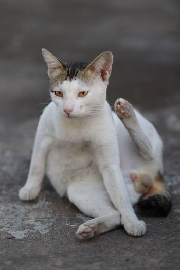 Cat sit and look at something Mammal Domestic Pets Domestic Cat Cat Feline One Animal Domestic Animals Vertebrate Sitting No People Portrait Relaxation Looking At Camera Cute Kitten Whisker Thailand White Comfortable Sitting Looking Cute Pets Cute Cats White Cat