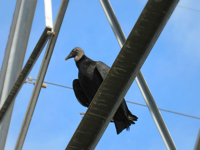 Animal Birds Of Prey Vulture Power Tower Way Up High Blue Sky Nature Vivid Photography