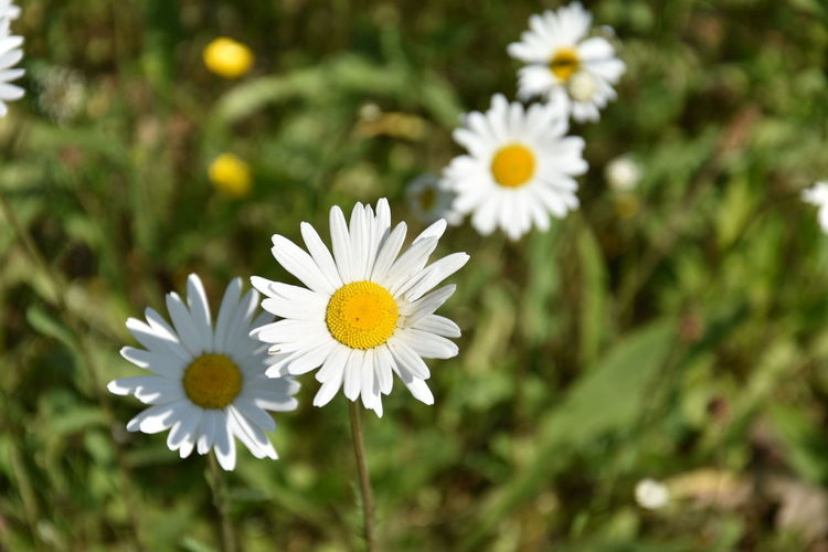 Beauty In Nature Close-up Daisy Day Flower Flower Head Flowering Plant Focus On Foreground Fragility Freshness Growth Inflorescence Nature No People Outdoors Petal Plant Pollen Vulnerability  White Color Yellow