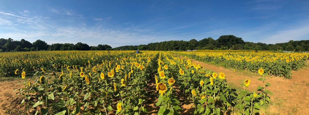 Field of sunflowers Plant Field Growth Beauty In Nature Agriculture Landscape Land Flowering Plant Scenics - Nature Yellow Tranquil Scene Environment Nature Sky Flower Tranquility Crop  Rural Scene Freshness Farm