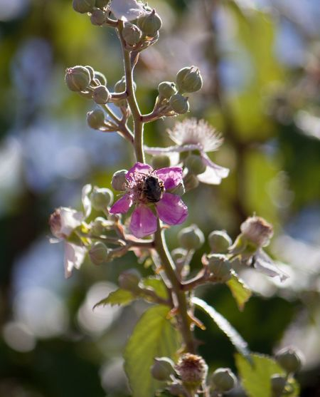 Bee Bee Plant