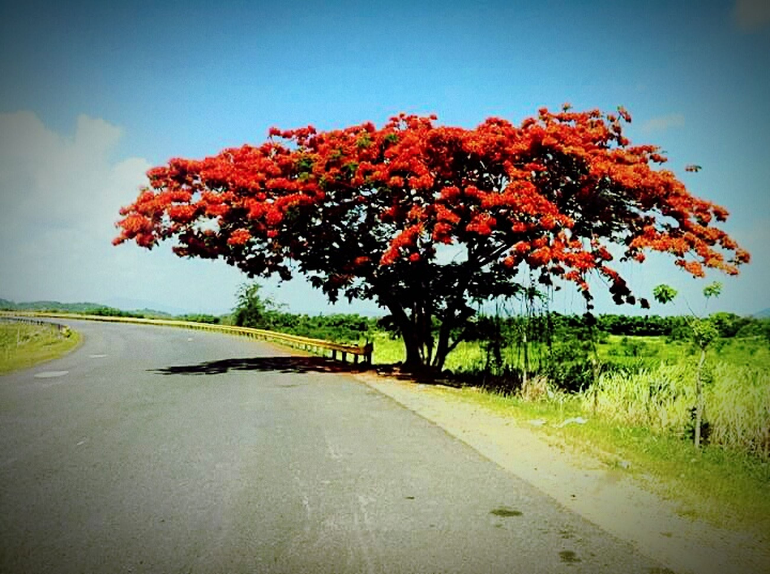 tree, road, the way forward, transportation, tranquility, country road, tranquil scene, landscape, nature, clear sky, beauty in nature, autumn, scenics, diminishing perspective, sky, field, growth, season, change, red