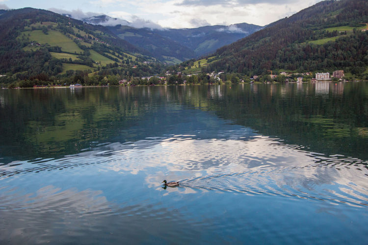 Duck swimming in clear waters in Zell Am See lake in Austria Austria Country Travel Beauty In Nature Countryside Duck Europe Lake Mountain Mountain Range Reflection Scenics - Nature Tranquility Water Zell Am See