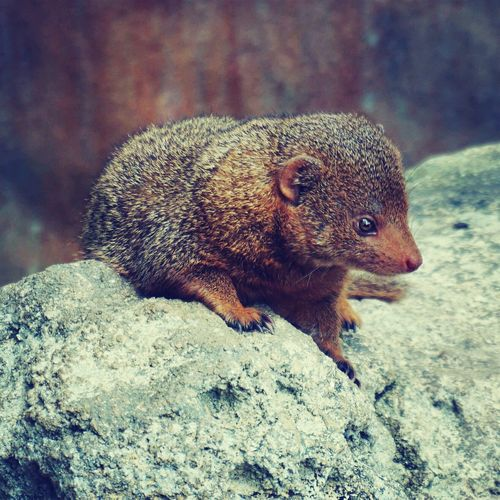 Mongoose On Rock In Zoo
