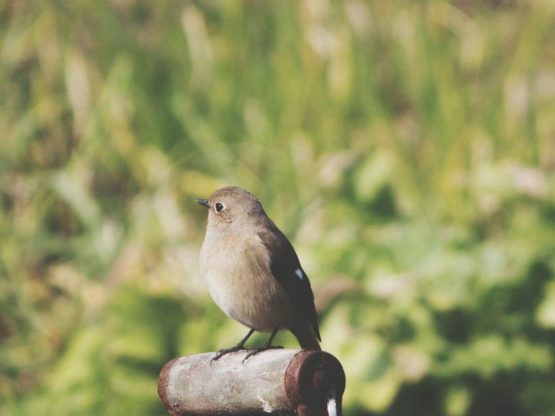 可愛い(*´ー`*) ジョウビタキ Birds Nature Pentax Q10