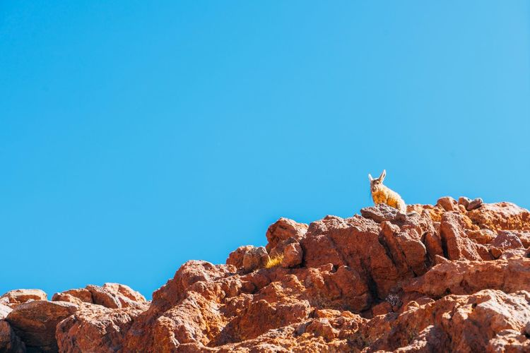 Low Angle View Of Rabbit On Rock Against Clear Blue Sky