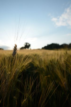 Agriculture Beauty In Nature Before The Sunset Close-up Day Field Landscape Love Nature Nature No People Open Edit Outdoors Wheat The Great Outdoors - 2016 EyeEm Awards The Great Outdoors With Adobe Colour Of Life