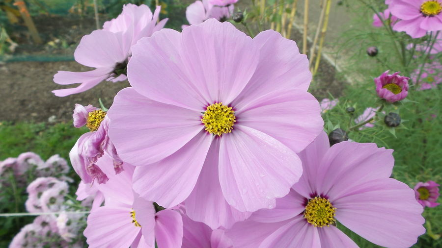 Flower Pink Color Nature Beauty In Nature Close-up Petal Flower Head Beauty In Nature Ireland Garden
