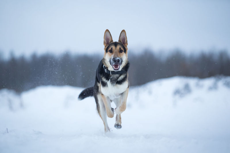 Portrait of dog running on snow covered land
