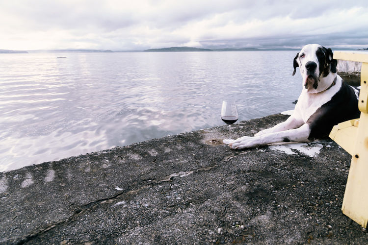 Adorable dog drinking red wine on the sea wall, funny.