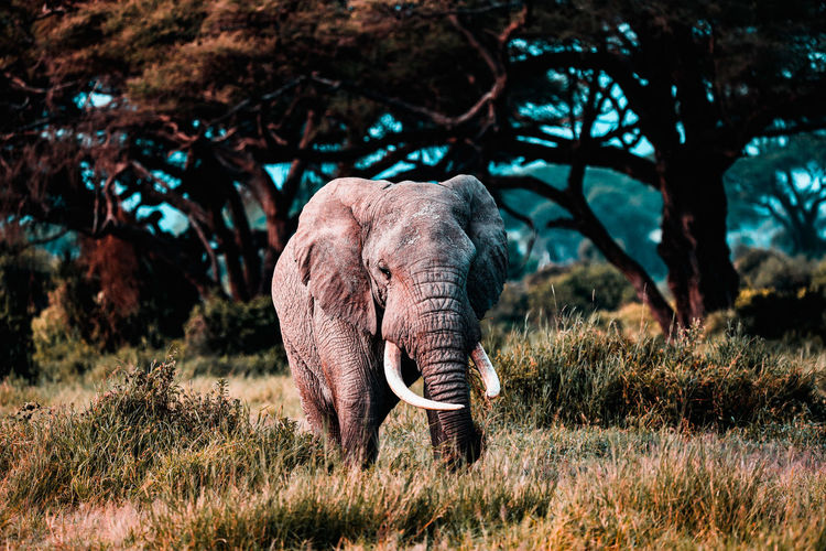 Elephant in a amboseli national park, kenya, africa